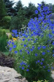 Delphinium 'Blue Butterfly' (1 Gal)