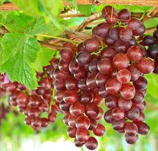 Grape Seedless Reliance 2 gal.