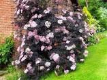 Elderberry - Sambucus Nigra 'Black Lace' 3 gal.