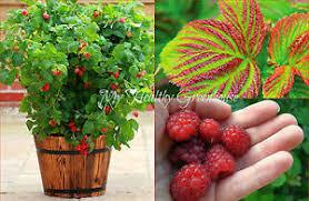 Rubus ideaeus 'Caroline' 2 gal