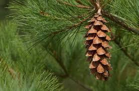 Pinus Strobus - White Pine - 4 ft