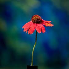 Echinacea 'Sombrero Salsa Red' 1 gal