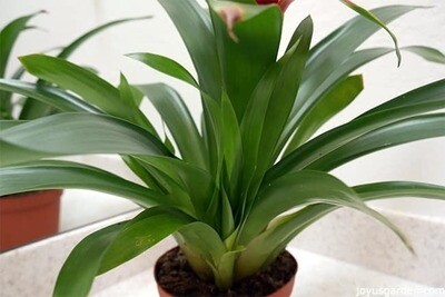 "Bromeliad Guzman Cherry 6in.19""H"