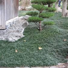 Ophiopogon Janponicus - Common Mondo Grass 1 gal.
