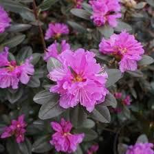 Rhododendron 'PJM Elite' 10 gal