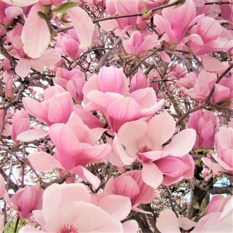 Magnolia × soulangeana 15 gal