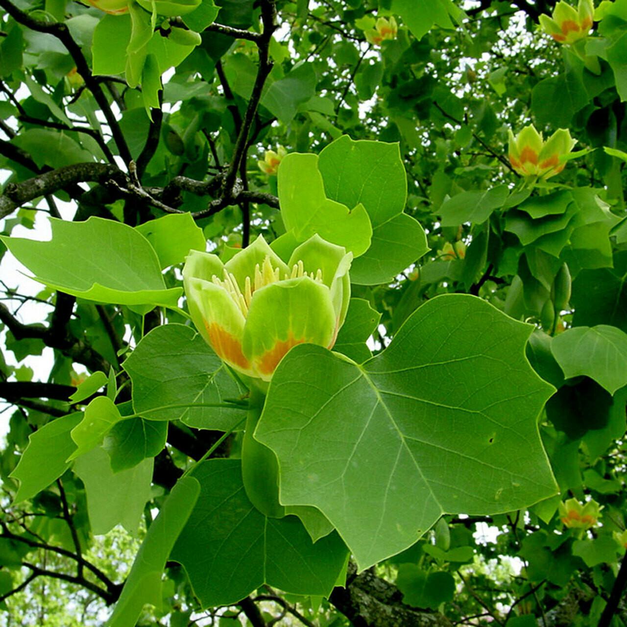 Liriodendron tulipifera 25 gal