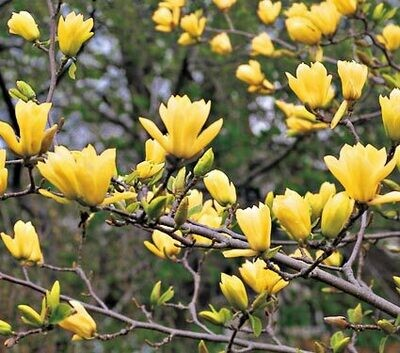 Magnolia 'Butterflies' multi stem Eaton (15 gal, 5 ft)