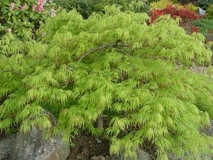 Acer palmatum dissectum 'Viridis' 15 gal