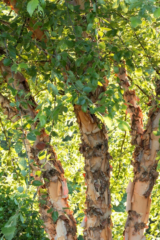 Betula nigra 'Cully' 15 gal