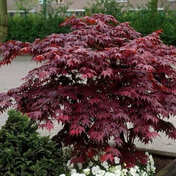 Maple Japanese 'Bloodgood' (25 Gal, 8-10 ft)