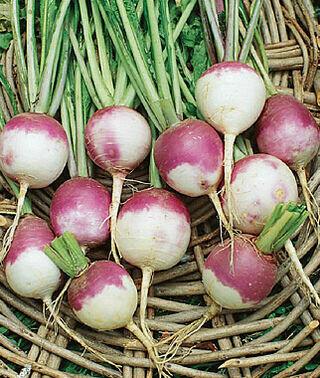 Turnip Purple Top White Globe Seed