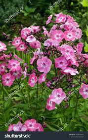 Phlox 'Volcano Pink w/ White Eye' 1 gal
