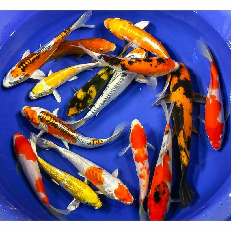 """Live Fish - Koi premium 6""""-8"""""""