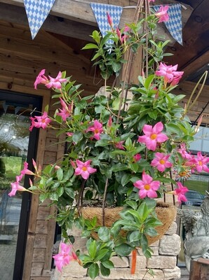Pink Explorer - Metal Teardrop with Pink Mandevilla