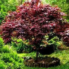 Maple Japanese  Acer 'Bloodgood' 6'-7ft (25 Gal)