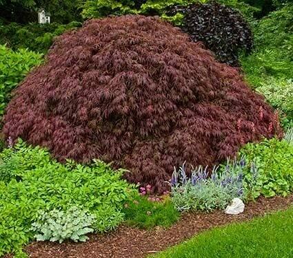 Acer palmatum var. dissectum 'Crimson Queen' 15 gal