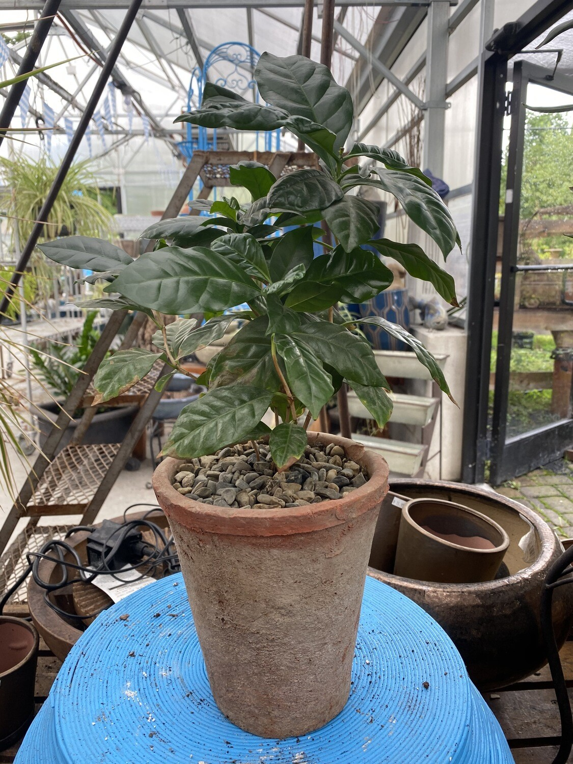 """Potted Houseplants - 7"""" Coffee Plant"""