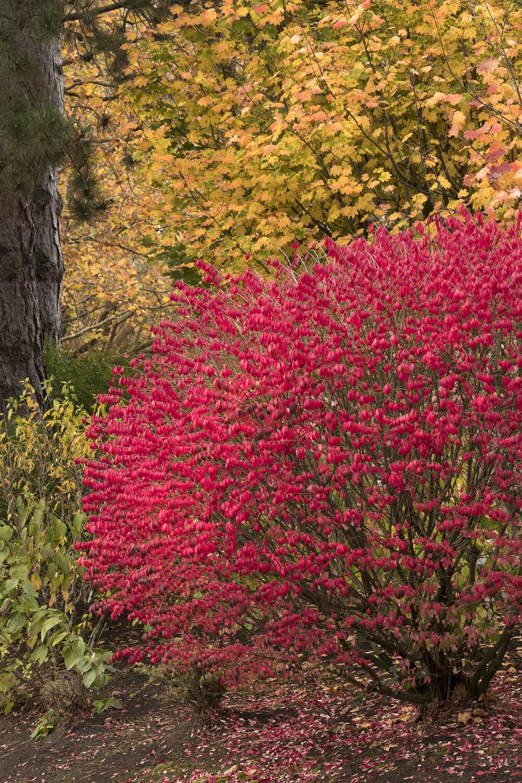 Burning Bush - Euonymus Alatus 'Compactus' 3 gal.