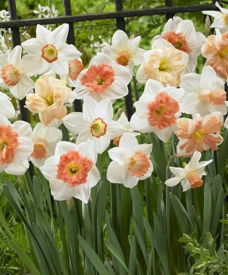Narcissus Pink Mixture (8 bulb)