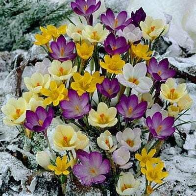 Crocus Specie Snow Crocus Mixture (30 bulb)