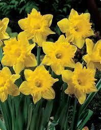 Narcissus Marieke (6 bulb)