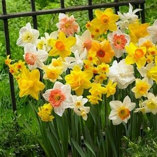 Narcissus All in One Assorted  (15 bulb)