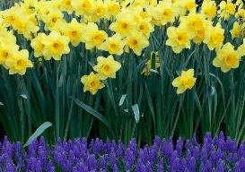 Blends of Beauty Hello Spring Blend (50 bulb)