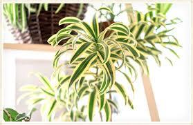 Spider Plant (1 Gal)