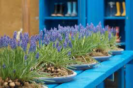 Hyacinth Grape Muscari (25 bulb)