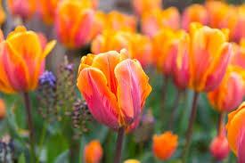 Tulip Princess Irene (8 bulb)
