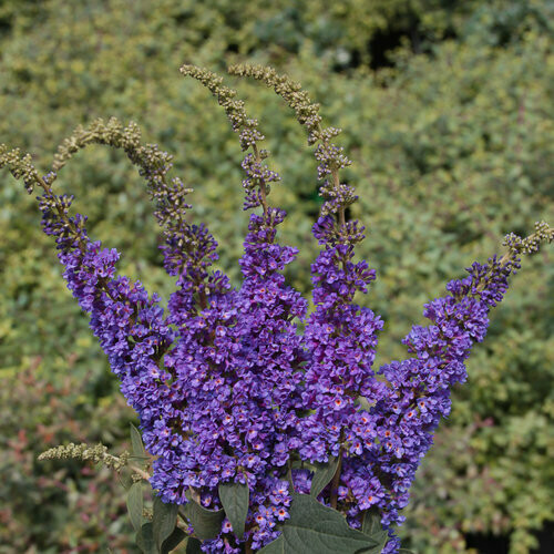 Buddleia 'Lo & Behold Blue Chirp Jr.' 2 gal