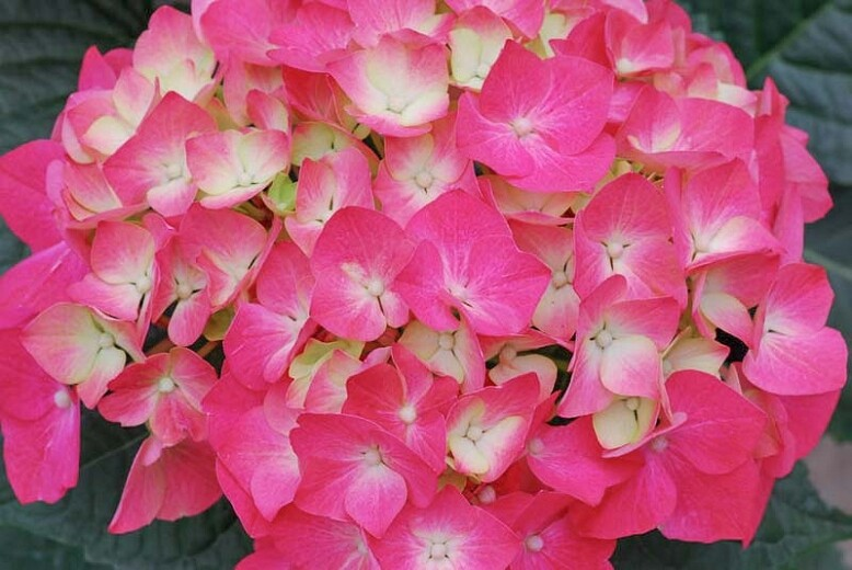 Hydrangea macrophylla 'Pia' 2 gal