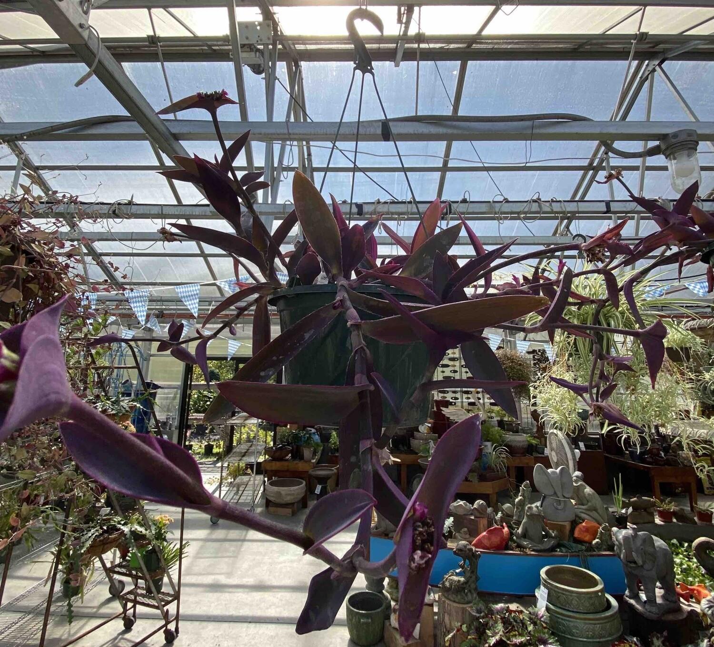Setcreasea 'Pink Stripe' 10 in Hanging Basket