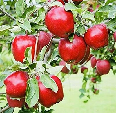 Apple Dwarf Red Delicious