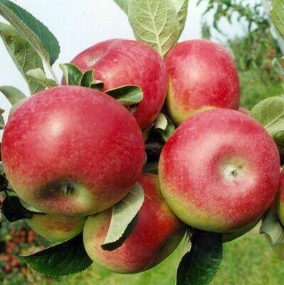 Apple McIntosh