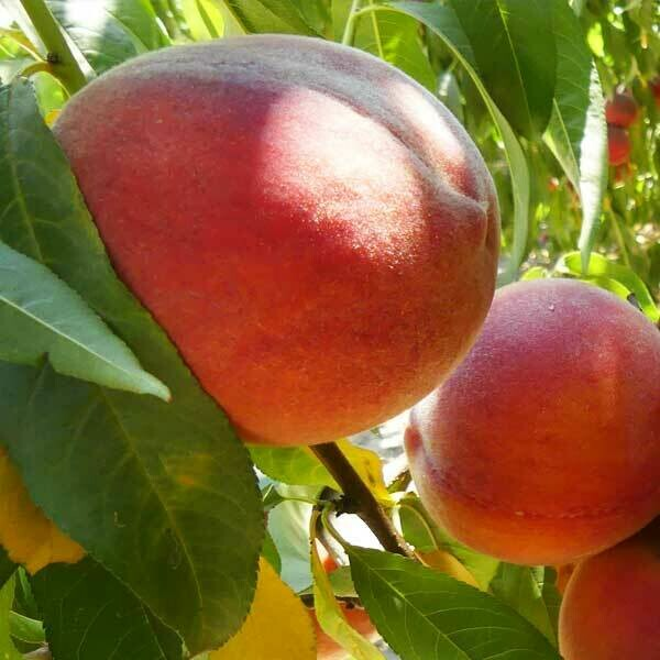 Peach Canadian