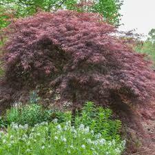 Acer palmatum dissectum 'Tamukeyama' 5 gal