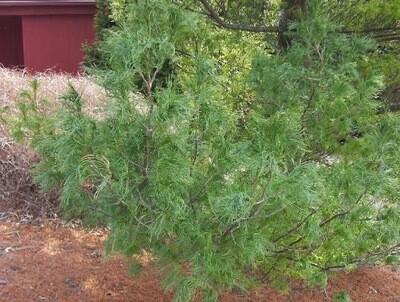 Pinus strobus 'Torulosa' 7 gal