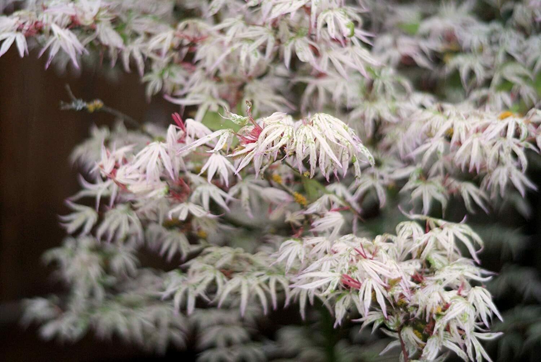 Acer palmatum 'Ukigumo' 5 gal