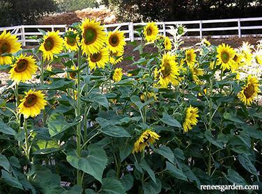 Sunflower Mammoth Heritage Seed