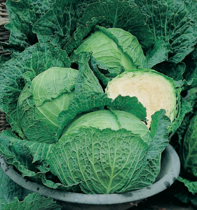 Cabbage Savoy Perfection Seed