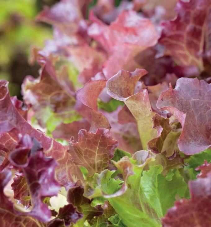 Lettuce Red Salad Bowl Seed
