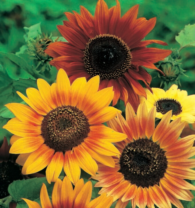 Sunflower Hart's Special Mix Seed
