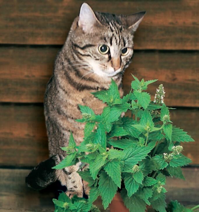 Catnip Seed