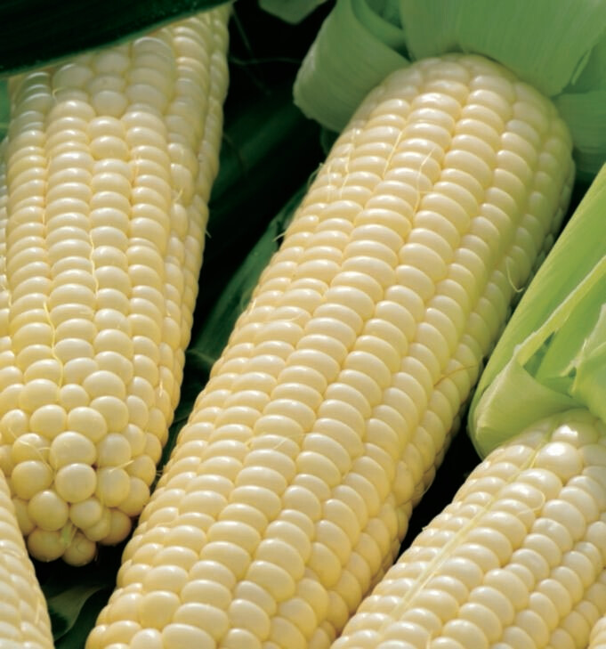 Corn White Silver Queen Seed