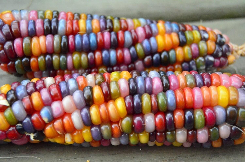 Corn Glass Gems Ornamental Popcorn Organic Seed