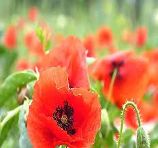 Poppy Oriental Scarlet Seed