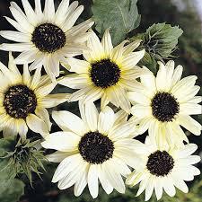 Sunflower Italian White Seed