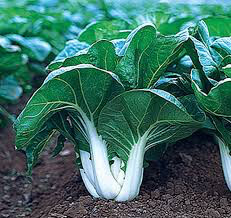 Cabbage Chinese Pac Choi Seed